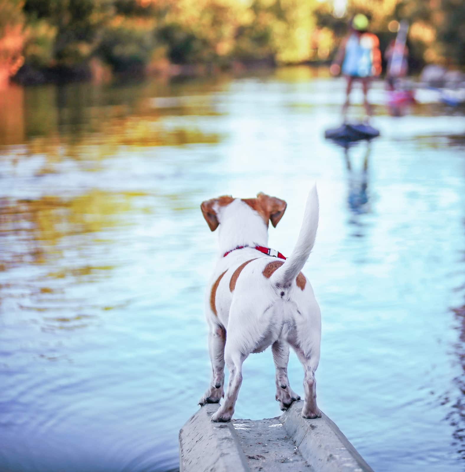 Backside of a Jack Russell terrier overlooking river with people fuzzy in the background.