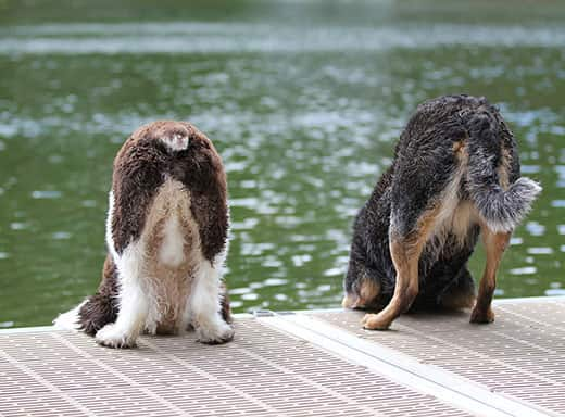 Two dogs looking down over a dock at the water