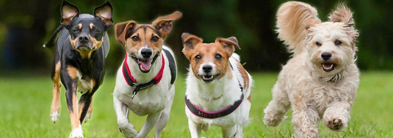 Postępowanie Ze Szczeniakiem W Okresie Dojrzewania Hills Pet